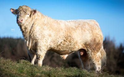 Bulls entered for the 2018 February Bull Sale at Stirling